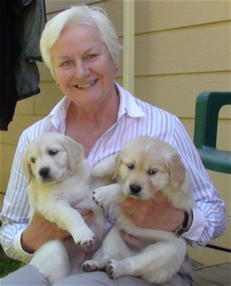 golden retriever vic golden retriever puppies rescue vic dogs our friends