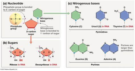 diagram of nucleotide structure and replication of dna revision notes in a