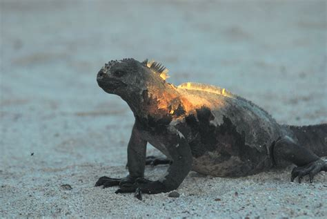 Iguana L marine iguana l