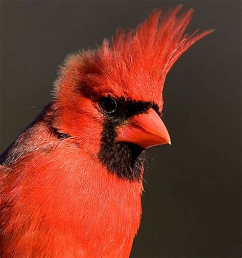 northern cardinal identification all about birds