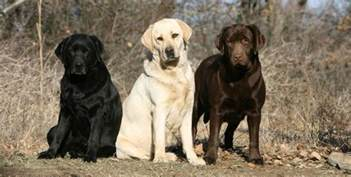 labrador retriever colors labrador retriever reigns as us top echonetdaily