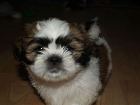 shih tzu colours tri colour shih tzu pups for sale blyth northumberland pets4homes