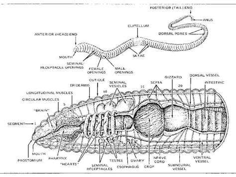 diagram of earthworm with label printable earthworm diagrams diagram site