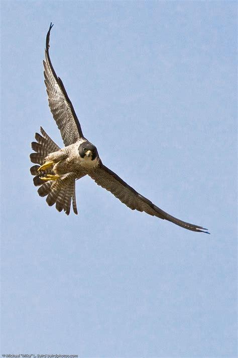 peregrine falcon macrobird