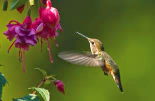 gallery for gt fuschia plant and hummingbirds