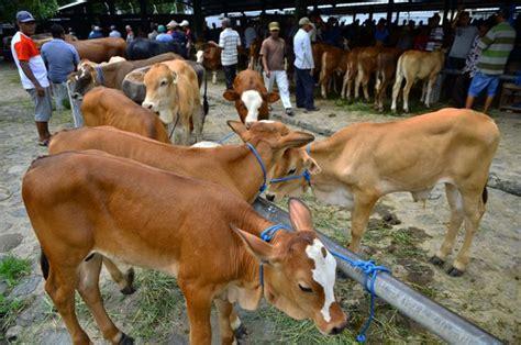 Bibit Sapi foto bibit sapi pasokan berkurang harga bibit sapi naik