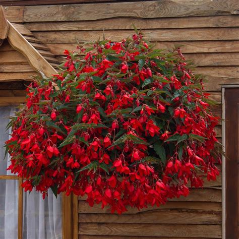 Foliage Plants For Hanging Baskets - buy begonia firewings red j parker dutch bulbs