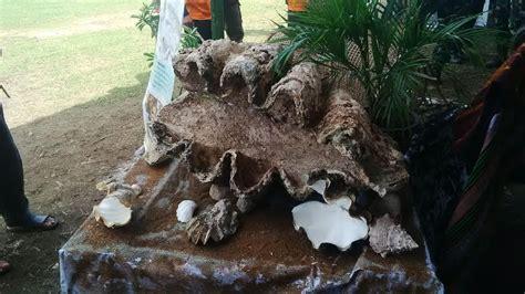 Kerang Raksasa fosil kerang raksasa akan dipamerkan di penutupan