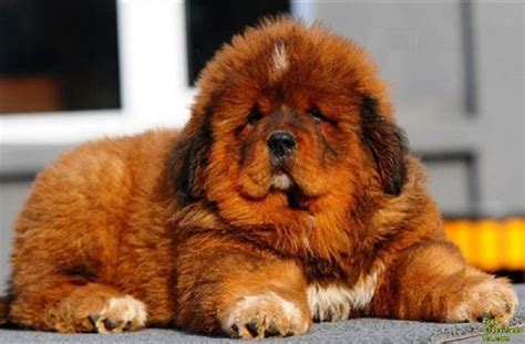 how much is a tibetan mastiff puppy pin by everest on my of animals