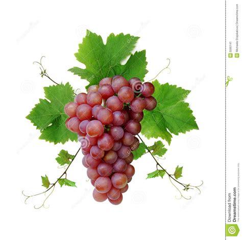 imagenes de uvas y frases racimo de la uva de vino imagen de archivo imagen 5595141