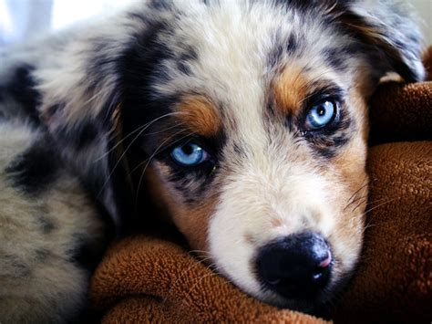 dogs for sale in oklahoma australian shepherd puppy for sale in oklahoma city breeds picture
