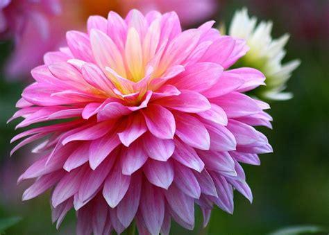 Chrysanthemum by Chrysanthemum Flowers Hd Wallpaper 2015
