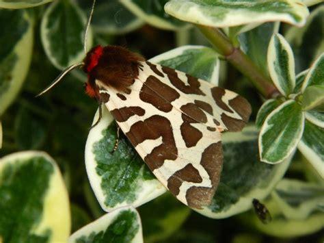 20570 Yellow Brown garden tiger arctia caja norfolk moths the macro and