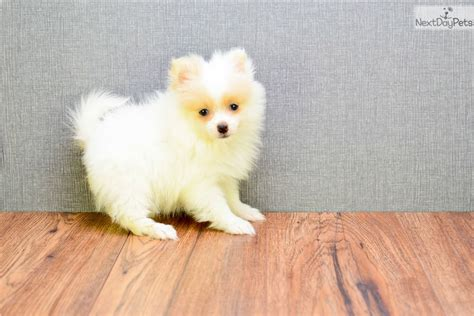 pomeranian ohio pomeranian puppies for sale in ohio and breeders pomeranian puppy for sale near