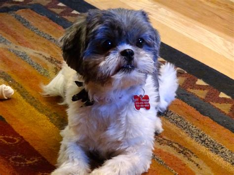 shih tzu tails shih tzu day 62 wags for same shih tzu different day