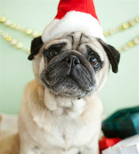 7 dogs that look like pugs about doggies santa paws 15 ridiculously pet photos brit co