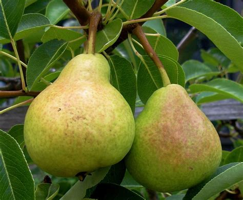 pear tree non fruit bearing non bearing pear trees what to do for a pear tree not