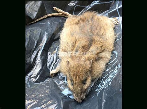 Rat Dans Le Plafond by Elimination Odeur De Rats Morts Ou Autres Rongeurs Ou