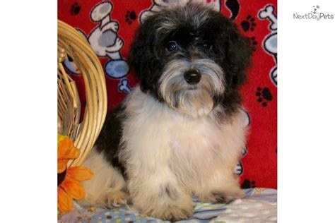 havanese puppies for sale in il havanese puppy for sale near southern illinois illinois 0c700000 6f81