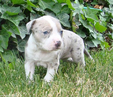 merle pitbull puppies blue merle 187 pit bull social pit bull social networking
