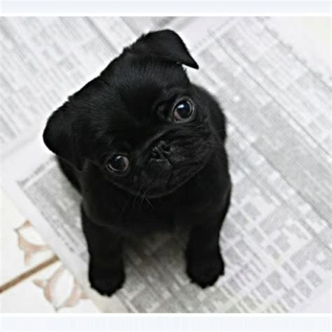 newborn pug puppies 25 best ideas about pug puppies on pugs baby pugs and doge