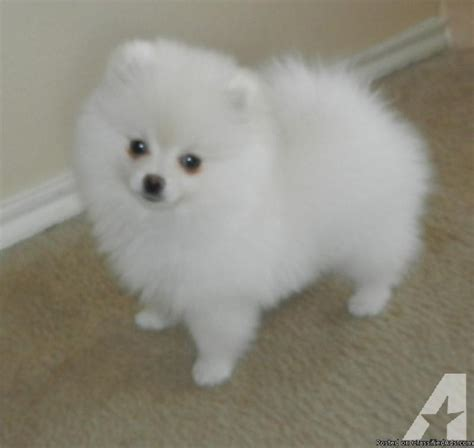 puppies for sale in ny teacup size pomeranian puppies for sale in new york classified
