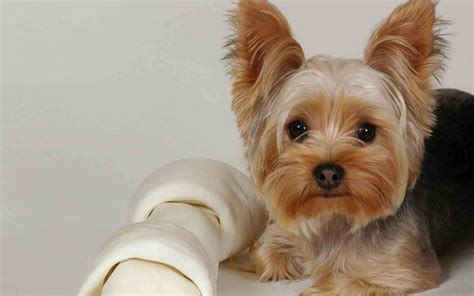 can you cut silky terrier hair short yorkshire terrier the life of animals