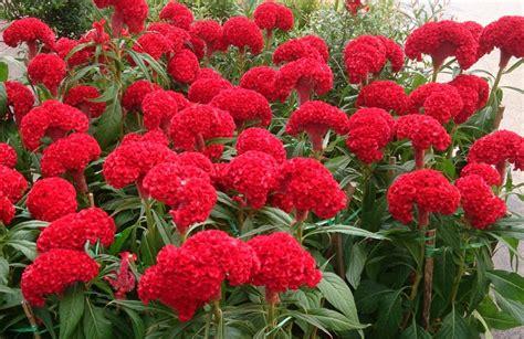 Madu Daun Ungu 10 tanaman renek berbunga yang tahan panas dan cuaca