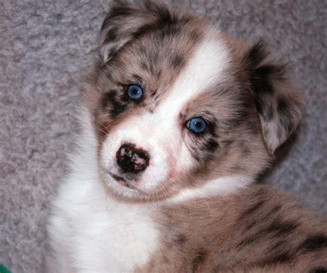 australian shepherd border collie mix puppies for sale border collie australian shepherd mix puppies for sale