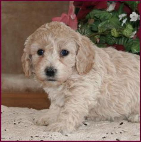 poochon haircuts bichon poodle poochon bichpoo puppies for sale iowa