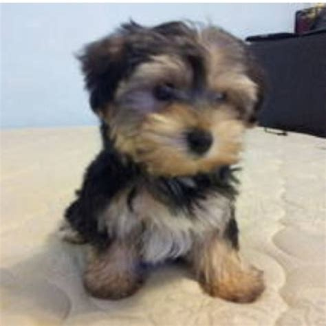 yorkies morkies and more morkie yorkie and maltese pets beautiful creatures