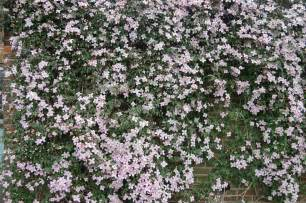 Climbing Plants Fence - clematis montana rubens landscape architect s pages