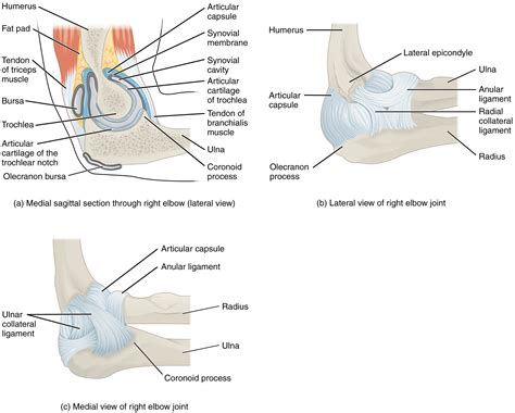 sectional view of the knee joint this figure shows the structure of the elbow joint the