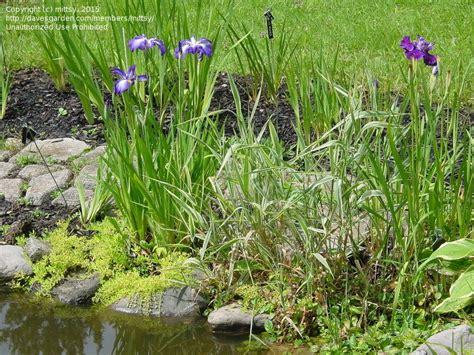 plantfiles pictures japanese water iris japanese flag