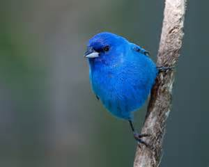 blue colored birds backyard wildlife color of the week blue the national