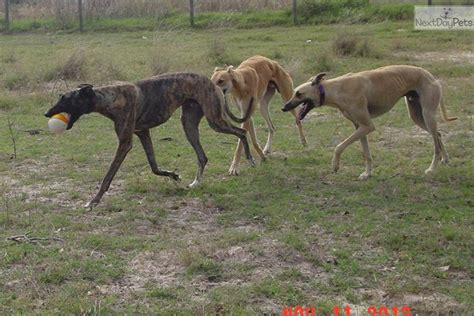 greyhound puppies for adoption greyhound for adoption greyhound puppy for adoption near san antonio