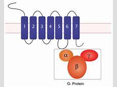 D2 Receptors in Psychopharmacology G Protein Coupled Receptors Diagram