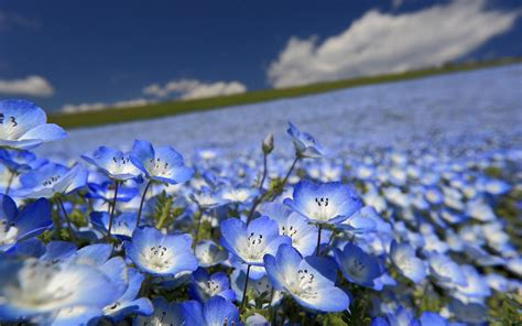 wallpaper of blue flowers list of blue flowers 40 background hdflowerwallpaper com