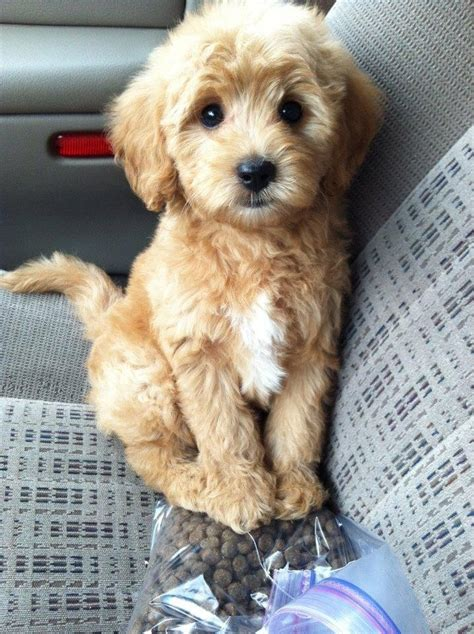 pookie doodle puppy words miniature golden doodle ohhhh my word cutest i