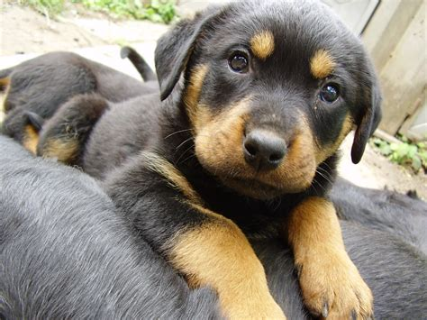 rottweiler puppies for sale in hton roads rottweiler shepherd mix puppy www pixshark images