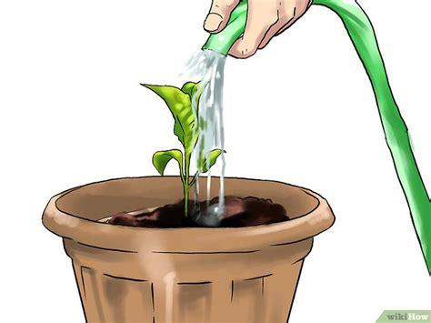 come coltivare le melanzane in vaso come coltivare le melanzane nei vasi 29 passaggi