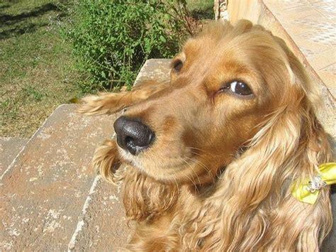 cocker alimentazione cocker spaniel inglese cani taglia media