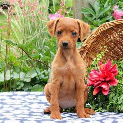 miniature pinscher puppies for sale in pa keystone puppies minnie miniature pinscher mix puppy for sale in pennsylvania
