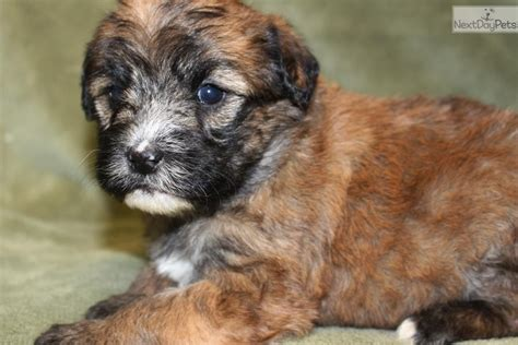 whoodle puppies for sale near me whoodle puppy for sale near joplin missouri 8944d931 2f31