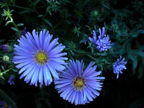 flowering evergreen shrubs zone 7 evergreen flowering shrubs blue the family and shrubs