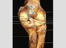 Anatomy- Posterior Thigh&Popliteal Fossa at The Uniformed ... Q Angle Genu Valgum