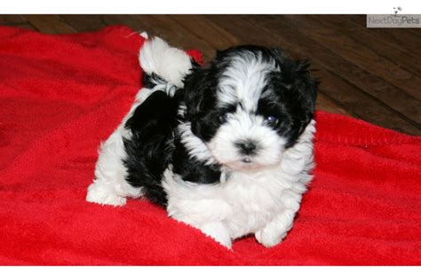 havanese puppies for sale in atlanta ga havanese puppy for sale near atlanta 05ecb90f 3f91