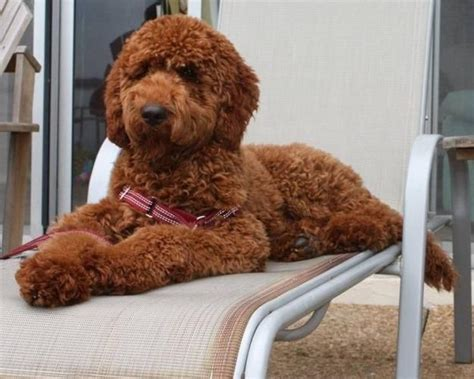 poodle lifespan standard poodle 17 best images about airedale terrier or standard