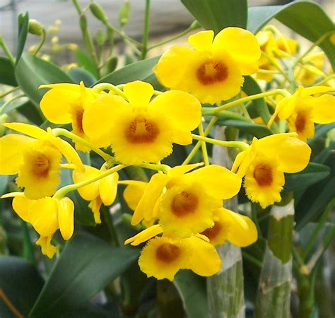 Orchid Yellow egg stra beautiful yellow orchids for easter