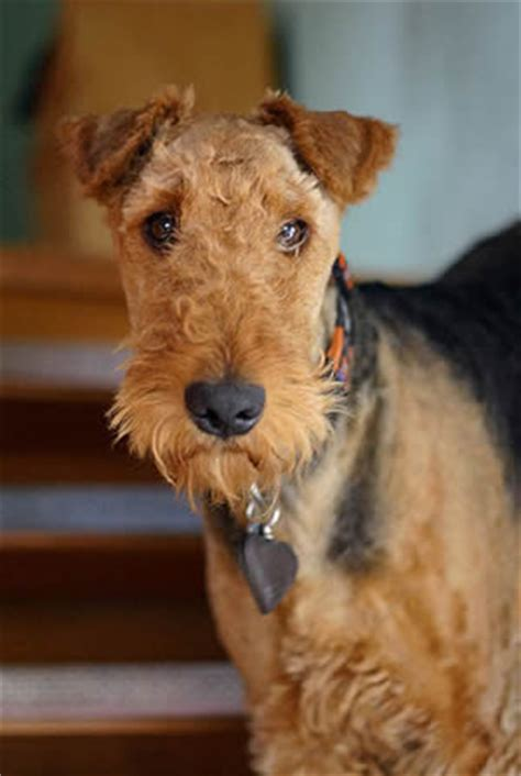 airedale terrier puppies for sale airedale terriers for sale protection trained airedale terriers for sale import